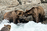 Two large adult grizzly bear boars fight over in the upper McNeil River falls at the McNeil River State Game Sanctuary on the Kenai Peninsula, Alaska. The remote site is accessed only with a special permit and is the world's largest seasonal population of brown bears.