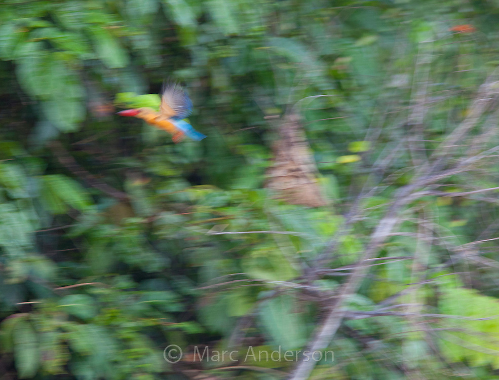 Stork-billed Kingfisher, Pelargopsis capensis, in flight, Sabah, Malaysia
