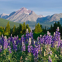 wild purple lupine, rising wolf  mountain and glacier national park, montana crown of the continent, usa