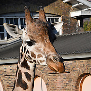 Gorillas, giraffes and squirrel monkeys enjoy Halloween treats and Smashing pumpkins at ZSL London Zoo on 25 October 2018.