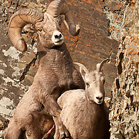 bighorn ram mounts ewe in rocks wild rocky mountain big horn sheep