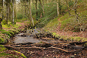 Holford Combe, with small stream, one of the many steep sided combes on the northern edge of the Quantock Hills in Somerset, England.