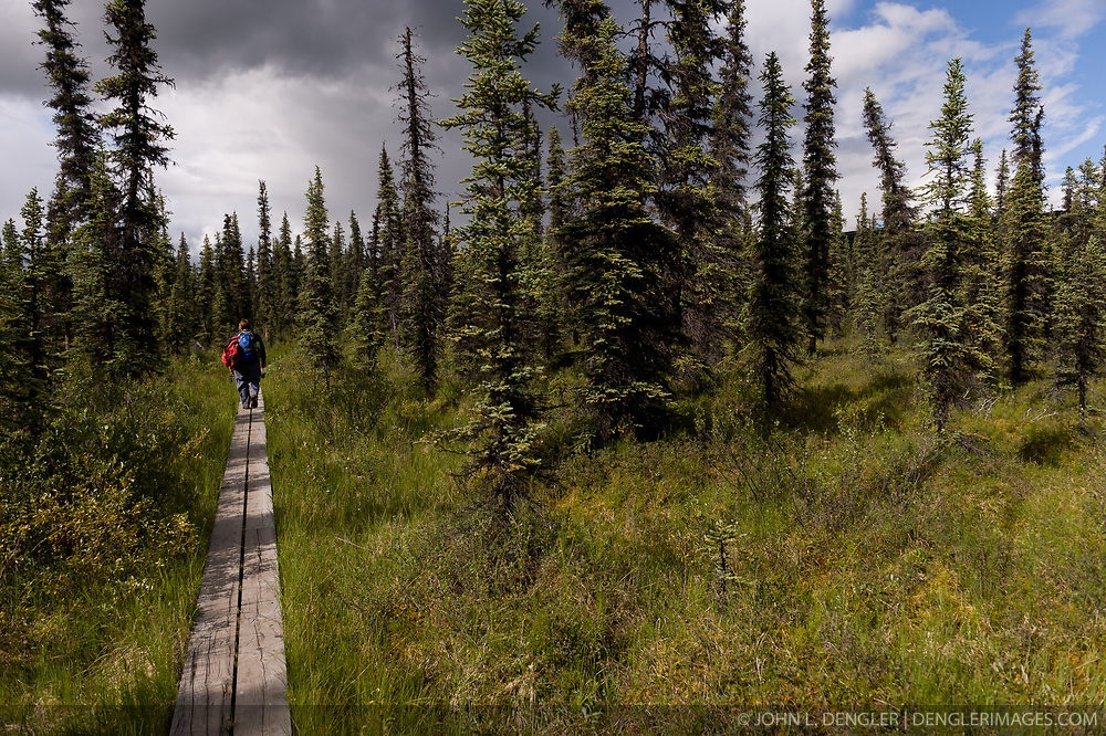 A hiker walks on a boardwalk protecting a marshy area on the McKinley Bar Trail in Denali National Park and Preserve in Alaska. The trail which begins near Wonder Lake and ends at the McKinley River is used by climbers to cross the McKinley River when climbing Mt. McKinley from the north side of the mountain.