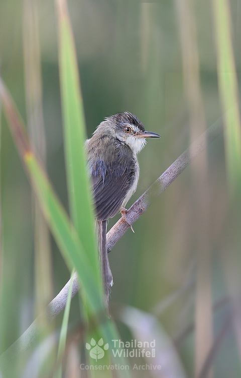 The plain prinia (Prinia inornata), also known as the plain wren-warbler or white-browed wren-warbler, is a small cisticolid warbler found in southeast Asia.