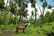 A horse standing among palm trees by the sea on the North coast of the island of Hiva Oa, in the Marquesas Islands, French Polynesia. Picture by Manuel Cohen