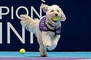 Hattie the balldog runs with a tennis ball in her mouth.<br /> Ball dogs step onto the court at the Royal Albert Hall for the first time in UK history during this year's Champions Tennis event in association with Skinner's Pet Food, with dogs provided by Canine Partners. <br /> During the Champions Tennis match at the Royal Albert Hall, London, United Kingdom on 6 December 2018. Picture by Ian Stephen.