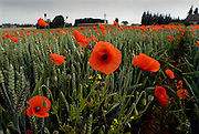 Somme Battlefield, France. Poppies on the Somme Battlefield at Rancourt.<br />