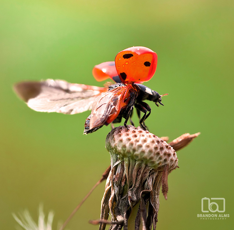A macro shot of a ladybug (Coccinella magnifica) as it takes off in flight off the top of a dandelion.