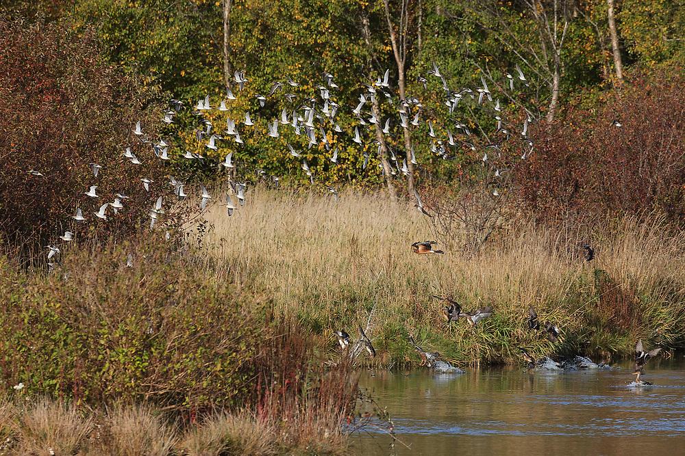 Marsh Hawk flushing shorebirds, George C Reifel Migratory Bird Sanctuary, Westham Island, British Columbia