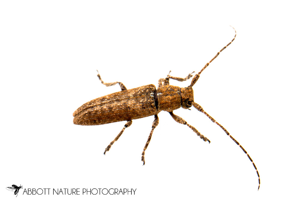 Flat-faced Longhorn Beetle (Ataxia crypta)<br /> TEXAS: Travis Co.<br /> Brackenridge Field Laboratory; Austin<br /> 20-Oct-2011 N30.28510 W97.77881<br /> J.C. Abbott