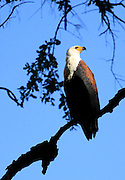 A fish eagle watches for fish from a tree branch overlooking the lagoon..South Luangwa National Park, Zambia, Southern Africa..© Zute & Demelza Lightfoot.www.lightfootphoto.com..