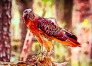 Abstract processing applied to this Red Tail Hawk named Cisco at the Carolina Raptor Center in Charlotte, North Carolina