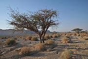 Israel, Aravah Desert Landscape Lone Acacia tree