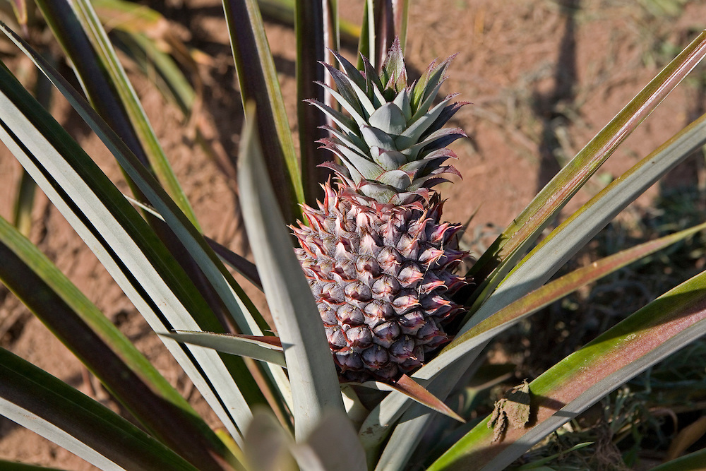 A young Pineapple growing on a farm in Uganda.