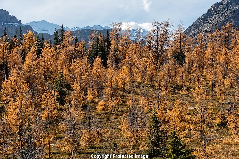 Larch trees on saddleback., Alberta, Canada, Isobel Springett