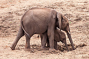 the waterholes that elephants create are used by many other animals afterwards