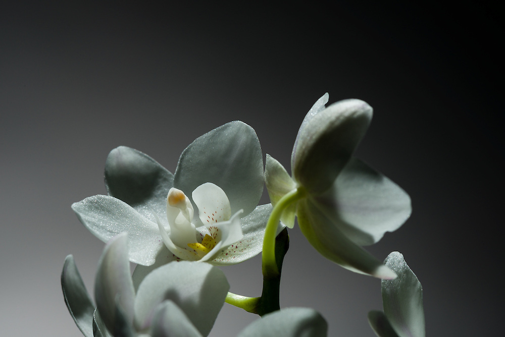 Orchid Compo