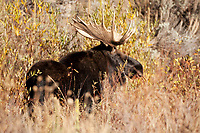 Bull Moose antlers grow wide and high and are full of character.