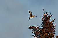 Willet (catoptrophorus semipalmatus) in flight surrounded by a swarm of mosquuitos, Cherry Hill Beach, Nova Scotia, Canada,