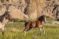 Wild horses in Theodore Roosevelt National Park, North Dakota, USA