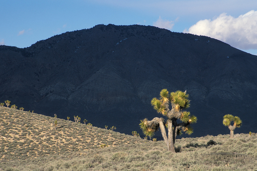 Joshua Trees at Lee Flat, Death Valley National Park, California