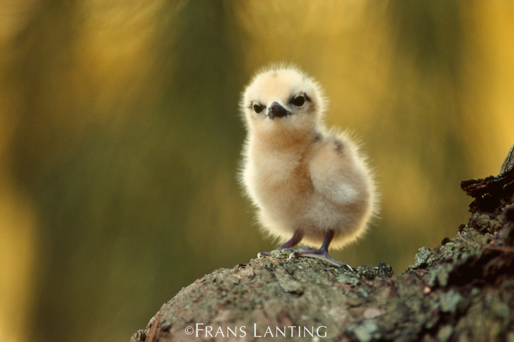 Fairy tern chick, Gygis alba, Hawaiian Leeward Islands