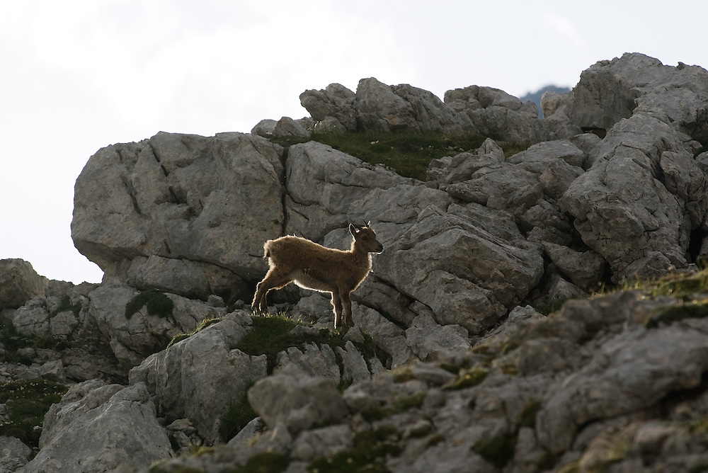 Ibex (Capra ibex) <br /> Julian Alps<br /> Triglav National Park, Slovenia<br /> July 2009