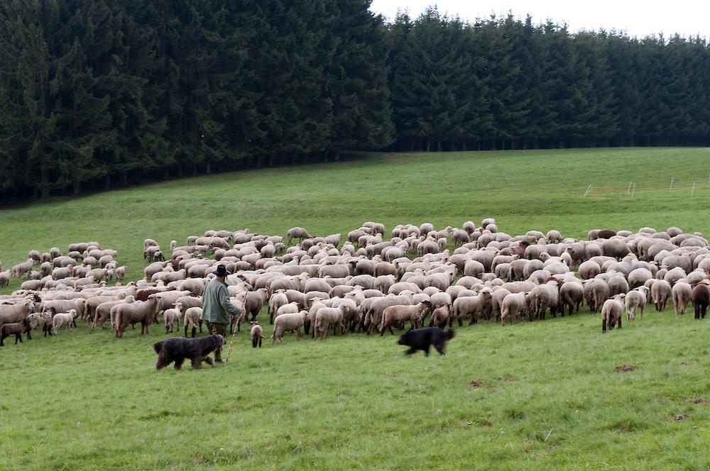  Deutschland,DEU, Rheinland-Pfalz,Westerwald,Rosenheim, Ein Schäfer zieht mit seiner Schafherde über Wiesen vor einem Waldstück     Germany, Rhineland-Palatinate, Westerwald,  shepherd with sheep and two dogs wandering  