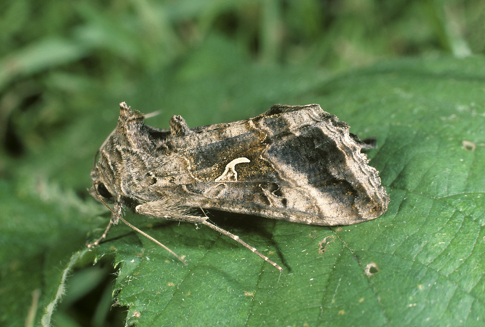 Silver Y Autographa gamma Length 20-22mm. A familiar migrant moth that flies in the daytime as well as at night. It rests with its wings in a tent-like manner. Adult has grey-brown forewings with a bold white 'Y' marking that is diagnostic. Flies May–October. Larva feeds on a range of low-growing plants. Widespread and common in most years; it migrates from southern Europe and also breeds in Britain.