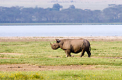 Rhinoceros at Lake Nakuro National Park, in Kenya. The Rhinoceros , often colloquially abbreviated rhino, is one of only five surviving species of odd-toed ungulates in the family Rhinocerotidae. Two of these species are native to Africa, the black and the white. / Os Rinocerontes sao grandes mamiferos caracterizados por apresentarem uma pele espessa e pregueada e um ou dois chifres sobre o nariz. Como simbolo do safari africano, pertence ao grupo de animais selvagens chamado de big five.
