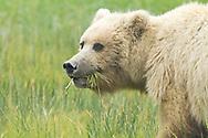 Alaskan Brown Bear Sow Eating Grass in Meadow, Lake Clark National Park, Alaska