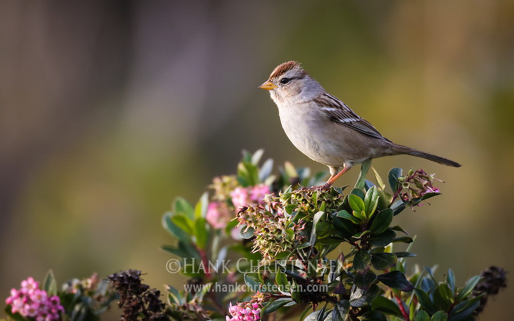 A white-crowned sparrow perches on a flowering bush, Redwood Shores, CA.