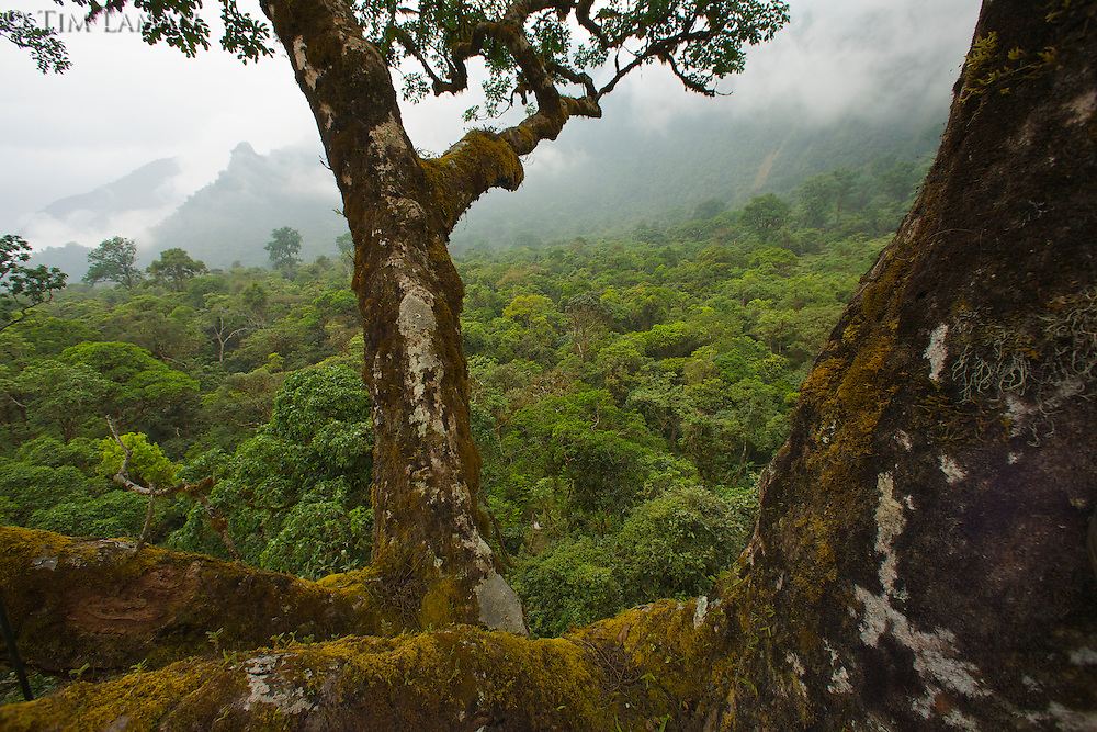 Canopy level view of the rain forest of the Gran Caldera Volcanica de Luba, with surrounding walls of the caldera.  Emergent mahagony trees (including the one the photograph was taken from) stick out above the rest of the canopy,