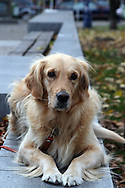 A golden retriever lying on a concrete bannister in a Park in Prague. Wearing a collar and a red leash.