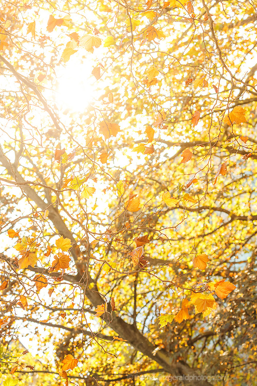 Autumn in Ireland, 2012: Orange and brown leaves blow gently in the wind as the golden Autumn Sun which shines through the branches.