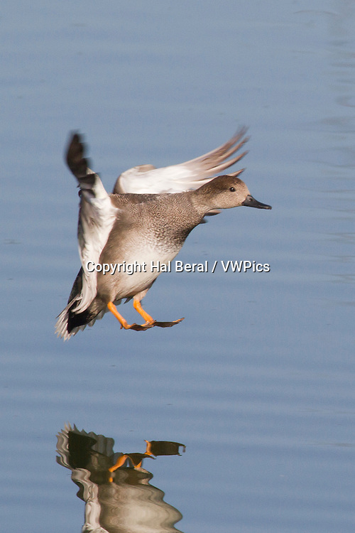 Gadwall Duck male landing<br /> (Anas strepera)<br /> San Joaquin Reserve,California