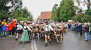 Herders in lederhosen and long-skirted dirndls guide Braunvieh (German Brown Swiss) into Maierhöfen. This breed, known for its hardiness and docile nature, produces milk especially good for cheese-making.