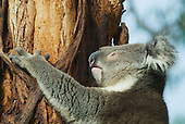 Coala bear