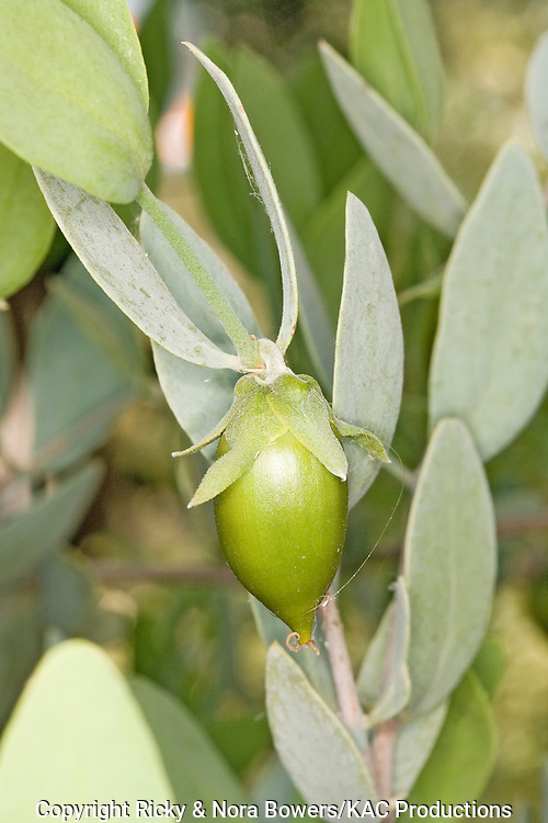 Jojoba .Simmondsia chinensis .Phoenix, Arizona, United States.24 April      Fruit       Simmondsiaceae