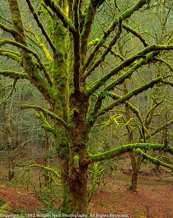 Moss-covered maple trees, near Vernonia, Oregon  1993