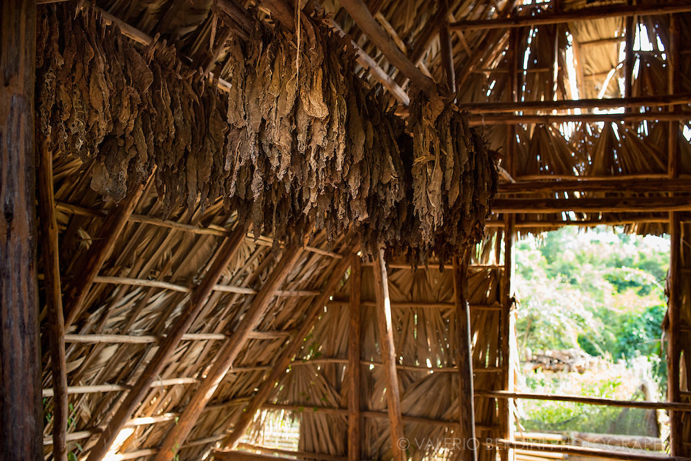 Tobacco leaves are hung to dry in special curing barns made with palm leaves to shelter from rain and allow the circulation of air. Wrapper leaves are air-dried for around 50 days. Filler leaves are also air-dried but is exposed to a 5 to 7 day external sun-drying period both before and after the barn curing.<br /> Vinales valley, Cuba.