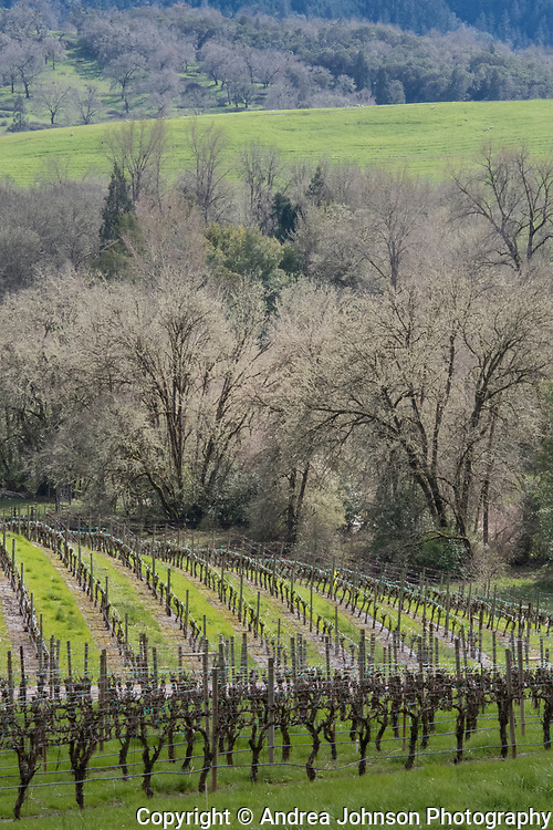 Oak trees, Abacela vineyard, Umqua Valley, Roseburg, Oregon