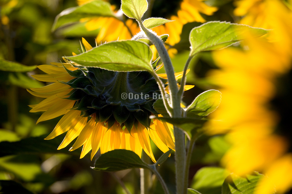 the heavy head hanging down of a sunflower in the field