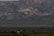 Wildlife and landscapes of the Carrizo Plain, a hidden valley near Bakersfield, California which harbors the last remaining natural habitat of the great central valley.