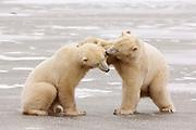 CANADA, Churchill (Hudson Bay).Polar bears (Ursus maritimus) play-fighting