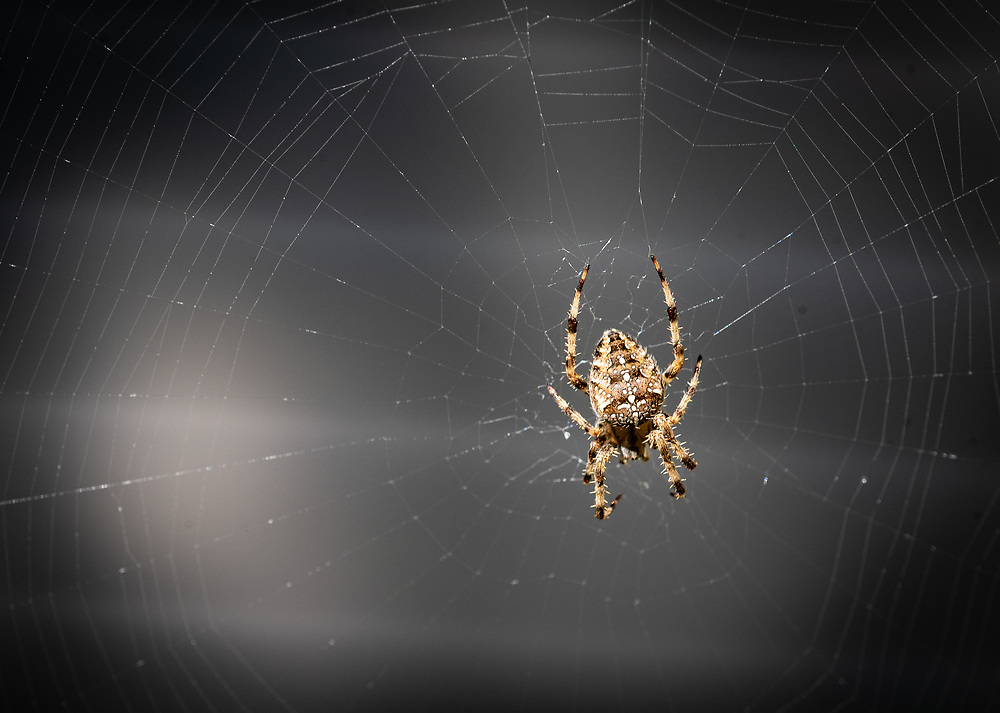 A spider, the most commonly known arachnid, part of the phylum Chelicerata, is pictured on its web. (Sam Lucero photo)