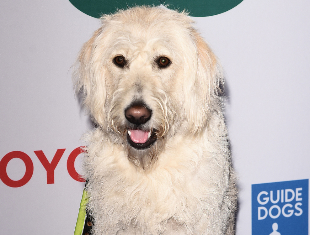 London, UK This Morning guide dog - Luna at The Guide Dog Of The Year Awards held at The Hurlingham Club, Ranelagh Gardens, London on Wednesday 17 May 2017 <br /> Ref: LMK392 -46019-251113<br /> Vivienne Vincent/Landmark Media. <br /> WWW.LMKMEDIA.COM.