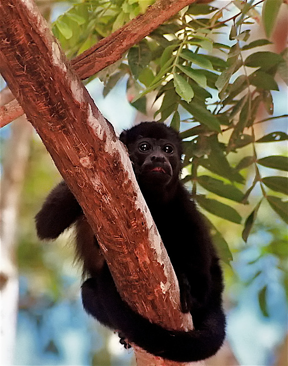 The Howler is the largest of Costa Rica's monkeys, and despite its ferocious growls, bark and roars, the least aggressive. With a standing height of about 20 inches and weighing up to 11 pounds, the Howler or Congo as it is named in Spanish, spends most of its life high in the tree canopy.