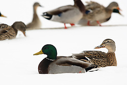 01 February 2008: A pair of mallard ducks, a drake and a hen, sit at the edge of a snow covered frozen lake. (Photo by Alan Look)