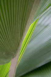 detail of a Palm Tree leaf